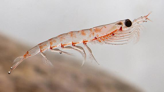 krill da Antártida