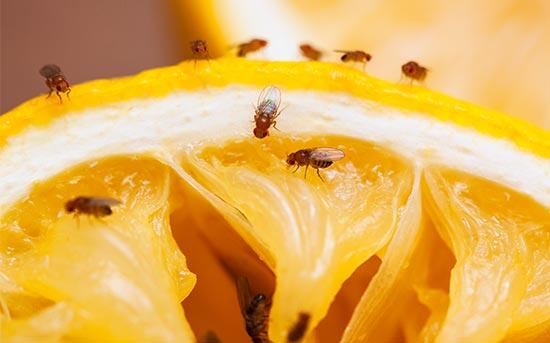 과일에 붙어 있는 초파리
