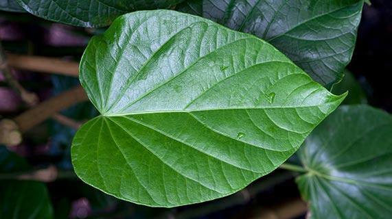 카바 식물