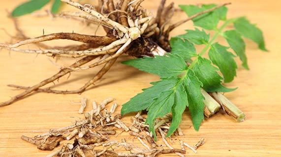 쥐오줌풀 뿌리