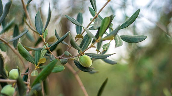 オリーブの 葉