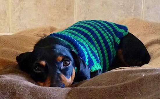 개 입고 스웨터