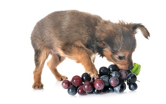 강아지와 포도