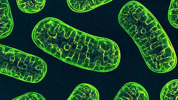 biogenesi mitocondriale