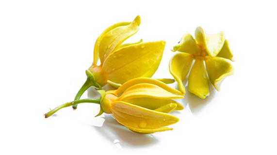 fleur d'ylang-ylang