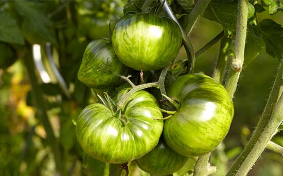 녹색 줄무늬 토마토