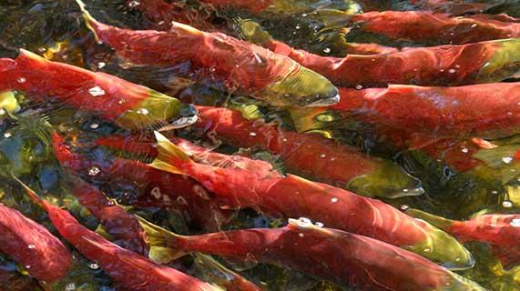 orthoréovirus pisciaire saumon