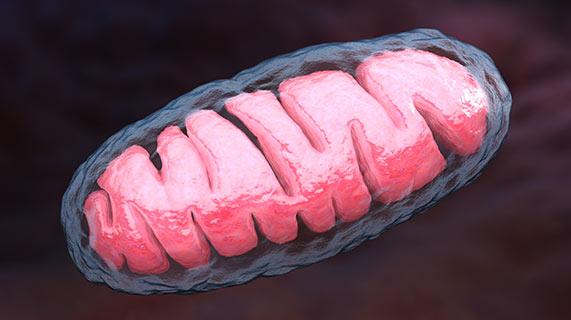 미토콘드리아