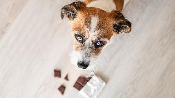 substances toxiques animaux de compagnie