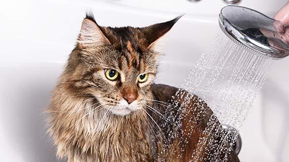 목욕하는 고양이