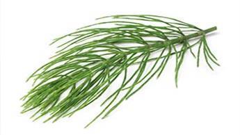 쇠뜨기(호스테일Horsetail)는 당신의 피부와 뼈 건강을 개선하는 데 도움이 될 수 있습니다.