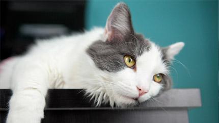Qué hacer con gatos que padecen enfermedad renal