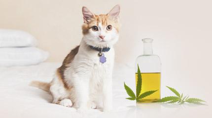 Es hora de descubrir el aceite de cáñamo rico en CBD de uso felino