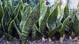 What Can a Snake Plant Do for You?