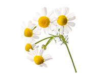 German Chamomile Oil