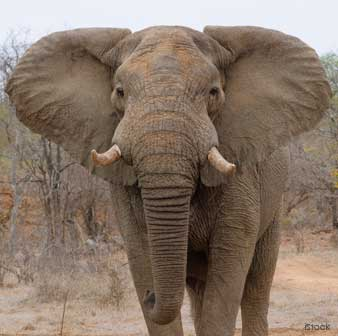 Orejas del Elefante