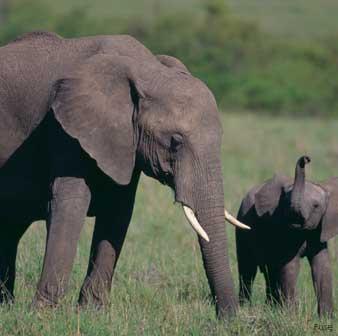 Embarazo del Elefante
