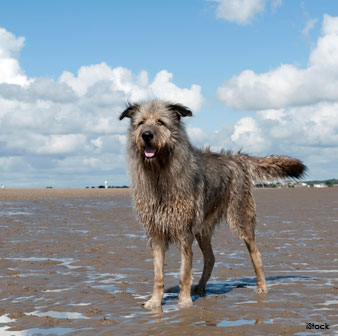 Giant Wolfhound