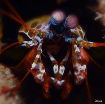Mantis Shrimp's Compound Eyes