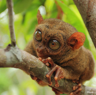 Tarsier's Enormous Eyes