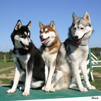 Siberian Husky Color