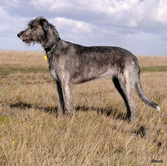 Tall Wolfhound